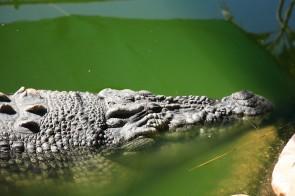 Jethro the croc