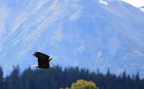 Eagle: A Local Fish Lake Resident Checking In